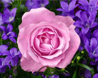Набор алмазной вышивки Wizardi Садовая роза / WD2308